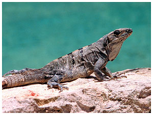 Iguana at Cozumel house rental